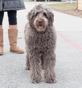 Labradoodle | Tails of the Monon